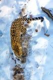 Nadmorski lampart, agresywny zwierzę chodzi na śnieżnej ziemi, duży piękny pasiasty lampart Obrazy Stock