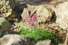 Nadmorski oszczędzania Armeria maritima młyn Willd Armeria vulgaris Willd wśród skał obrazy royalty free