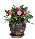 Nadokienna roślina balsam Fotografia Royalty Free