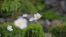Nadruk en defocus op Japanse anemonen in tuin stock footage