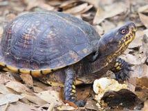 Nadruk Gestapeld Beeld van een Oostelijke Doosschildpad die op Paddestoel voeden Stock Foto