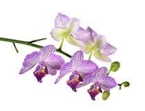 Nadruk Gestapeld Beeld van Purpere en Witte Orchidee?n die op Wit worden ge?soleerd stock foto's