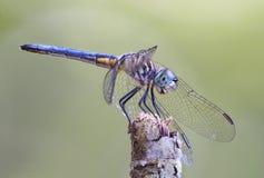 Nadruk Gestapeld Close-upbeeld van een Blauwe Dasher-Libel Stock Fotografie