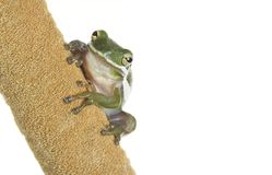 Nadruk Gestapeld Close-upbeeld van een Eekhoorn Treefrog op een Cattail Stock Foto's