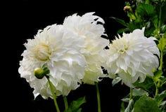 Nadruk Gestapeld Close-upbeeld van Witte Dahlia Blossoms op Zwarte royalty-vrije stock foto