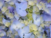 Nadruk Gestapelde Close-up van Violette en Gele Hydrangea hortensia royalty-vrije stock afbeelding