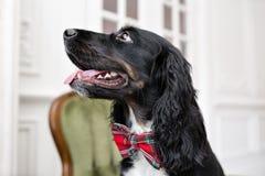 Nadruk op de neus Hondspaniel in een rode vlinderdas binnen de lichte ruimte Het huisdier is drie jaar oude zittings op a stock afbeelding