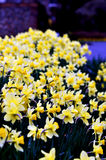 Nadruk op gele narcissen Royalty-vrije Stock Afbeeldingen