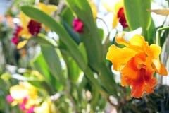 Nadruk op grote orchideebloem in serre stock afbeelding