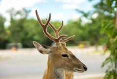 Nadruk op het oog van de Herten Stock Foto's