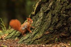 Nadrzewny Czerwonej wiewiórki początek wspinać się up drzewa fotografia stock