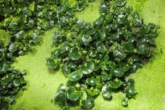 nadwodna roślinnych Zdjęcia Royalty Free