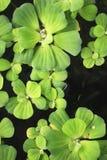Nadwodna roślina Obrazy Stock