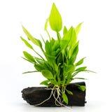 Nadwodna roślina Zdjęcia Royalty Free