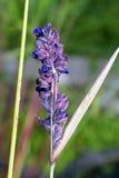 Nadwodnej rośliny kwiat Obraz Stock