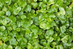 Nadwodnej rośliny tekstura Fotografia Stock