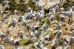 Nadwodni seabirds w Peru, Ameryka Południowa, wybrzeże przy Paracas Krajową rezerwacją, Peruwiański Galapagos. Fotografia Royalty Free