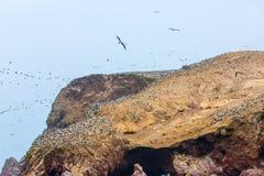 Nadwodni seabirds w Peru, Ameryka Południowa, wybrzeże przy Paracas Krajową rezerwacją, Peruwiański Galapagos. Obrazy Stock