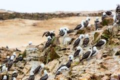 Nadwodni seabirds w Peru, Ameryka Południowa, wybrzeże przy Paracas Krajową rezerwacją, Peruwiański Galapagos. Ballestas wyspy. Zdjęcia Stock