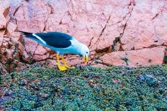 Nadwodni seabirds w Peru, Ameryka Południowa, wybrzeże przy Paracas Krajową rezerwacją, Peruwiański Galapagos. Ballestas wyspy. Fotografia Royalty Free
