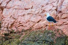 Nadwodni seabirds w Peru, Ameryka Południowa, wybrzeże przy Paracas Krajową rezerwacją, Peruwiański Galapagos. Ballestas wyspy Zdjęcie Royalty Free