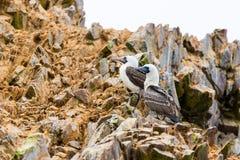 Nadwodni seabirds w Peru, Ameryka Południowa, wybrzeże przy Paracas Krajową rezerwacją, Peruwiański Galapagos. Ballestas wyspy. Zdjęcie Royalty Free