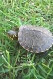 Nadwodny żółw Zdjęcia Royalty Free