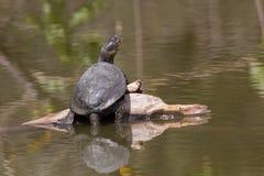 Nadwodny żółw w stawie obrazy stock