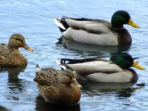 Nadwodny ptactwo na pokazie Zdjęcia Royalty Free