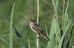 Nadwodny warbler, Acrocephalus paludicola zdjęcia stock