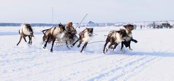 NADYM,俄罗斯- 2006年3月18日:在假日期间,赛跑在鹿 库存照片