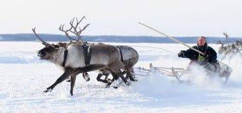 NADYM, RUSIA - 18 DE MARZO DE 2006: El competir con en ciervos durante día de fiesta de Foto de archivo libre de regalías