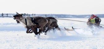 NADYM, RUSIA - 18 DE MARZO DE 2006: El competir con en ciervos durante día de fiesta de Foto de archivo