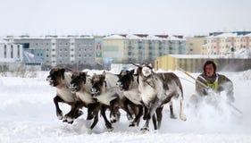NADYM, RUSIA - 16 DE MARZO DE 2008: El competir con en ciervos durante día de fiesta de Fotos de archivo