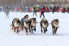 Reindeer sled racing among the indigenous peoples of the Russian. NADYM, RUSSIA - MARCH 04, 2018: Competitions on reindeer sledding during the traditional Nenets Royalty Free Stock Photo