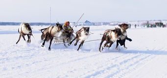 NADYM, RUSSIA - MARCH 18, 2006: Racing on deer during holiday of Stock Photos