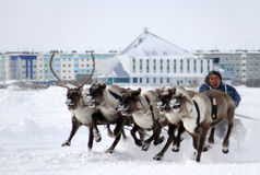 NADYM, RUSSIA - MARCH 16, 2008: Racing on deer during holiday of Royalty Free Stock Photo