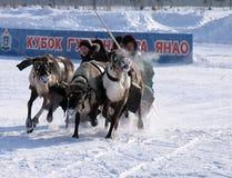 NADYM, RUSSIE - 17 MARS 2006 : Emballage sur des cerfs communs pendant des vacances de Image stock