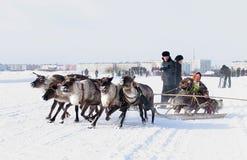 NADYM, RUSSIE - 18 MARS 2006 : Emballage sur des cerfs communs pendant des vacances de Photos libres de droits