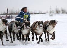 NADYM, RUSSIE - 16 MARS 2008 : Emballage sur des cerfs communs pendant des vacances de Images stock