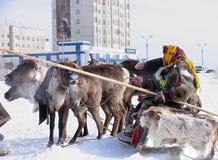 NADYM, RUSSLAND - 18. MÄRZ 2006: Laufen auf Rotwild während des Feiertags von Stockfotos