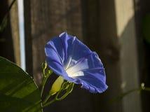 Nadziemski Błękitny ranek chwały kwiat Obrazy Royalty Free