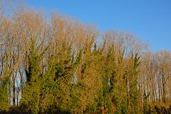 Nadzy zim drzewa przerastający z bluszczem zdjęcie stock