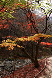 Naejangsan maple tree. Korea city Sokcho tour viewpoint maple tree Stock Image
