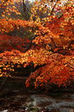 Naejangsan maple tree. Korea city Sokcho tour viewpoint maple tree Royalty Free Stock Photos