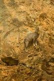 Naemorhaedus griseus Stock Image