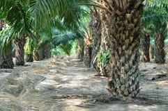 Nafciana palma Zdjęcie Royalty Free