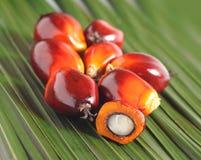 Nafcianej palmy owoc Zdjęcia Royalty Free