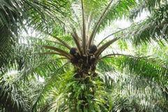 Nafcianej palmy owocowe wiązki na nafcianej palmie w nafcianej palmy plantaci obrazy royalty free