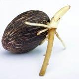 Nafcianej palmy rozsada na białym tle Obraz Royalty Free